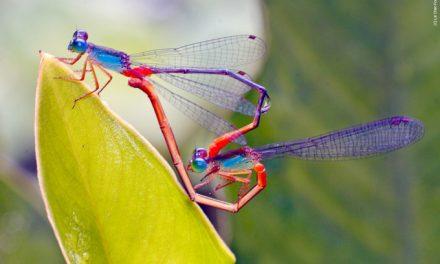 """""""Inseks"""": voortplanting bij insecten"""