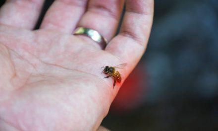 Wespensteek of bijensteek?
