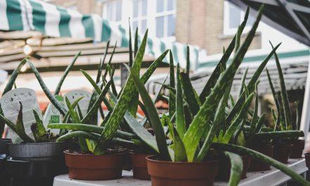 Aloë is een vlezige plant